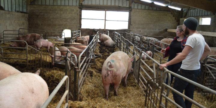 Élevage porcin dans le Perche
